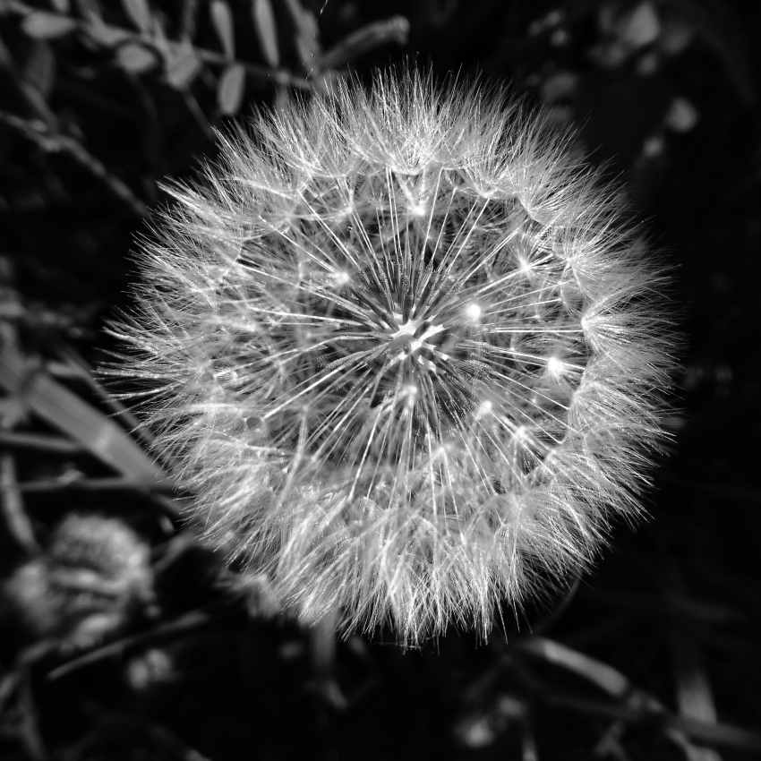 Macro photograph of Dandelion clock in monochrome