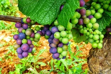 Pinot Noir grapes, Burgundy