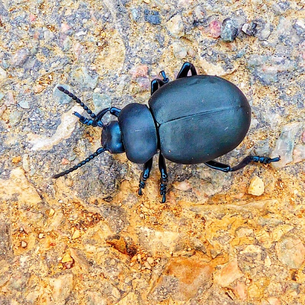 Black Beetle in Burgundy vineyard