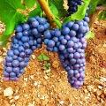Ripe Pinot Noir grapes