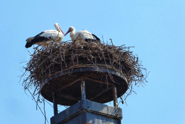 Alsace, Ribeauville, Storks nest