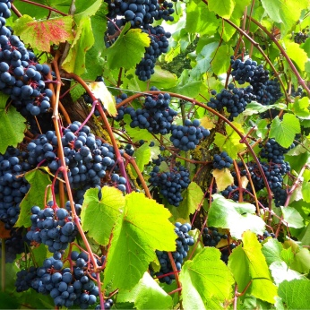 Red Rondo grapes ripened at Bothy Vineyard, Oxfordshire