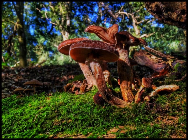 Dark brown fungus in New Forest