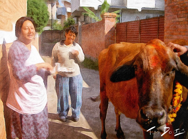 Cow worship in Nepal during festival of light, Tihar