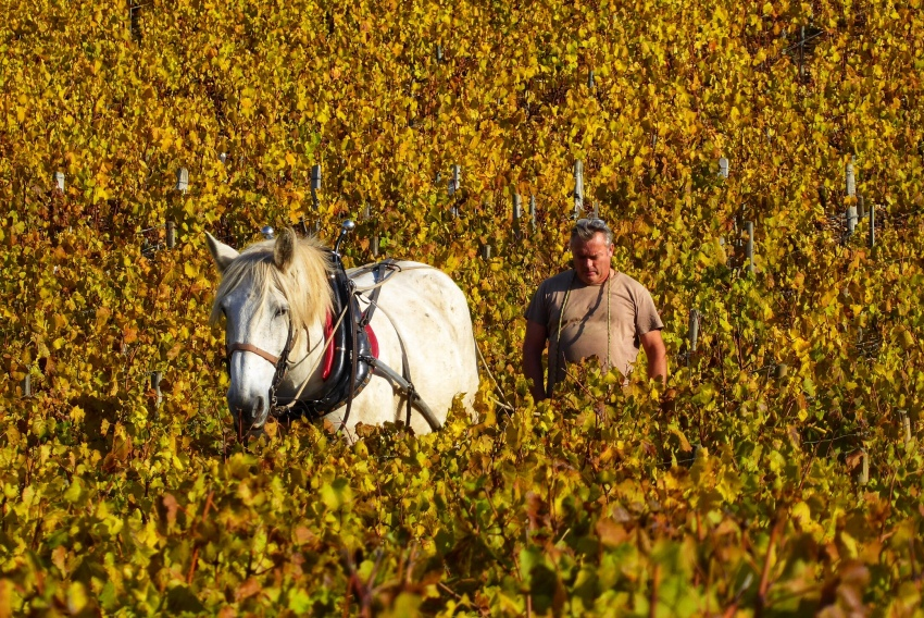 Arnaud and his horse plough the Les Clos Grand Cru climat in Chablis